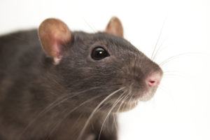 Rat Gainesville