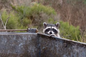 Raccoon in dumpster
