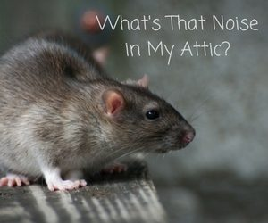 What S That Noise In My Attic Critter Control Gainesville