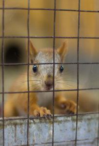 squirell in trap