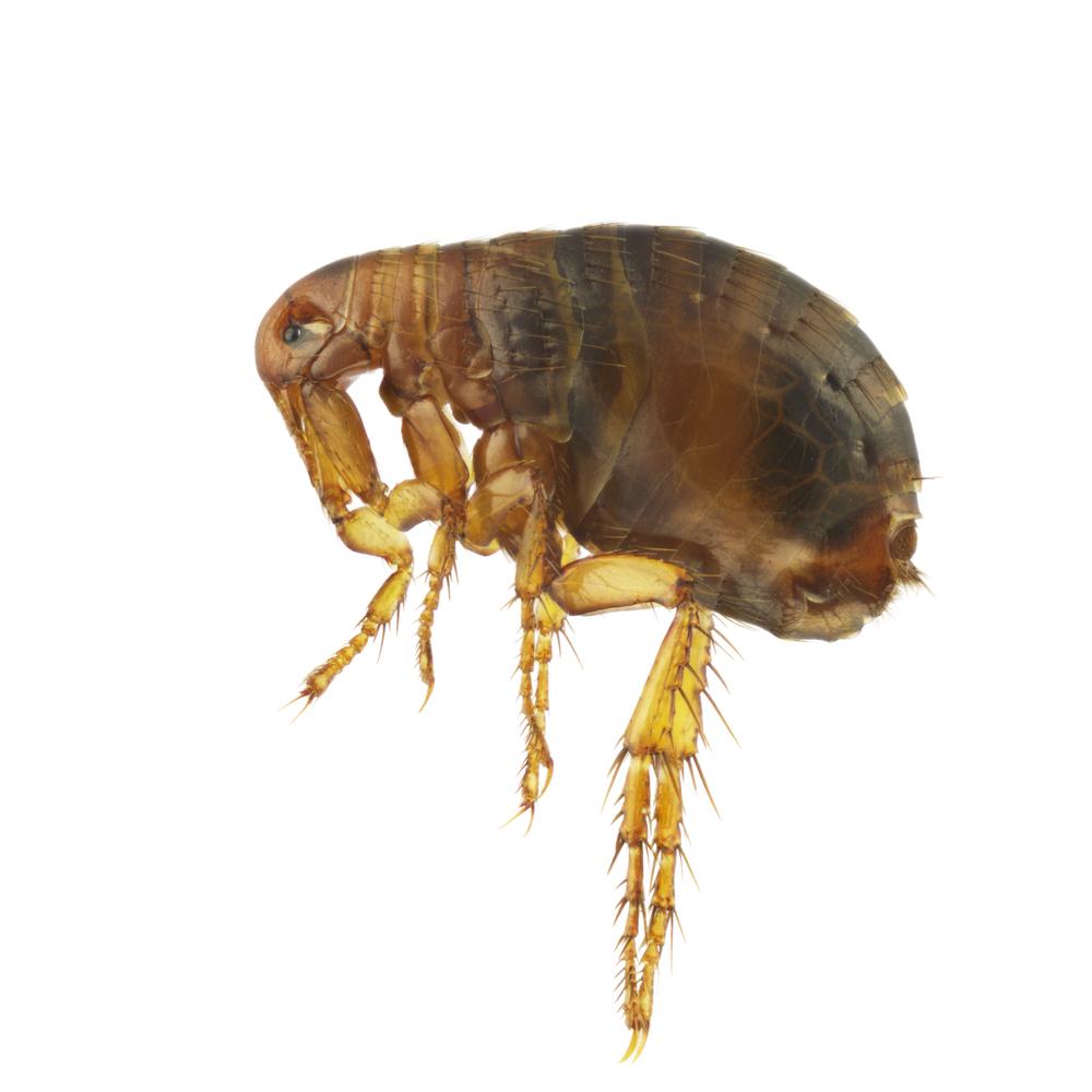 Gainesville Flea