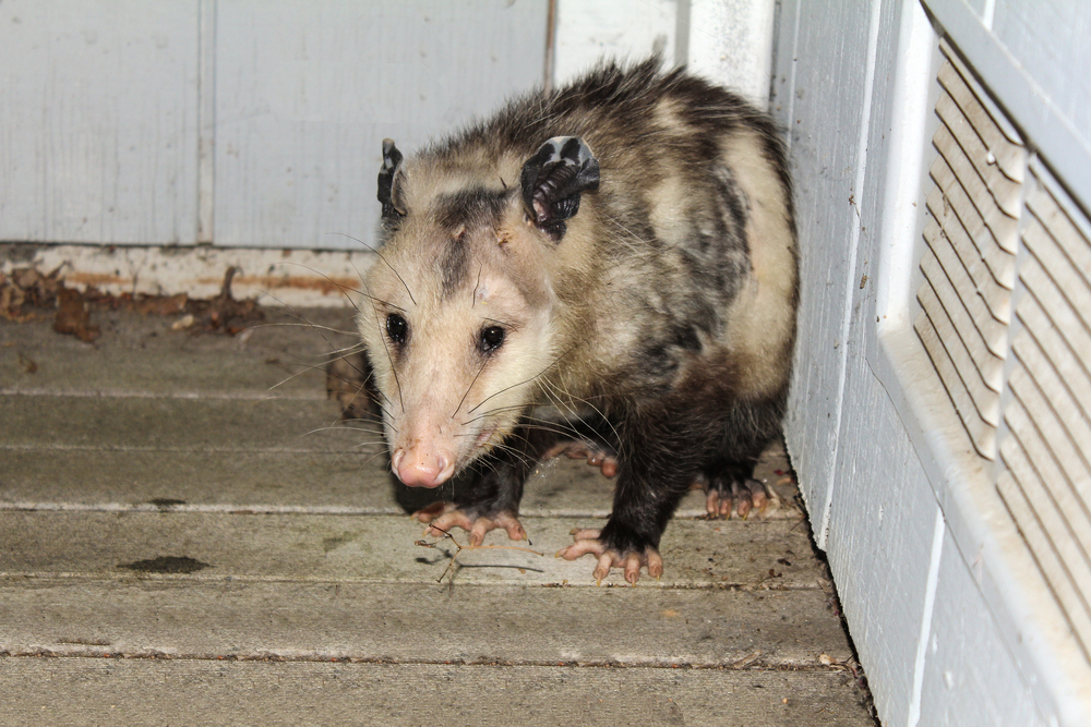 Opossum Removal-